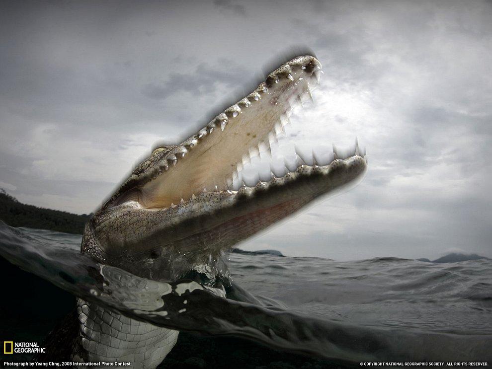 Солёноводный крокодил