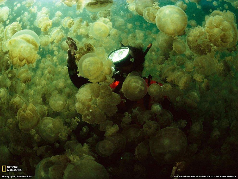 Медузы, Палау