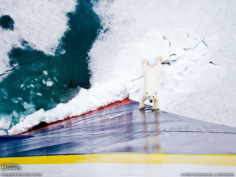 Белый медведь, Норвегия