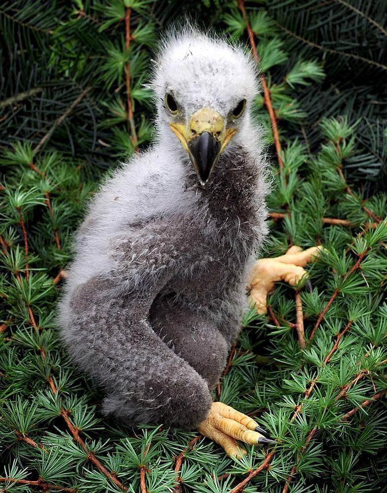 Детеныш серого орла