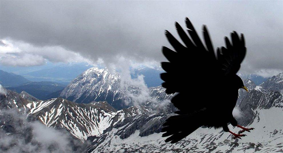 Галка пролетает на фоне Альп и самой высокой горы в Германии — Цугшпитце