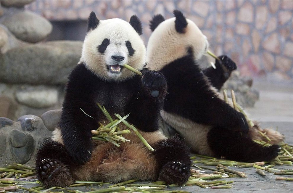 Гигантские панды