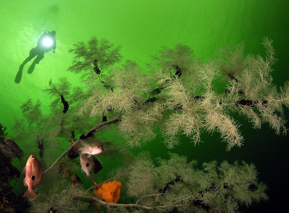 Черные (королевские) кораллы