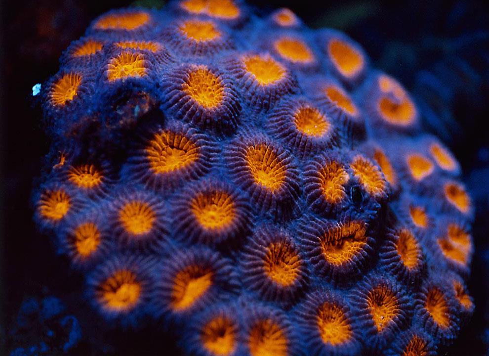 Твердый коралл: