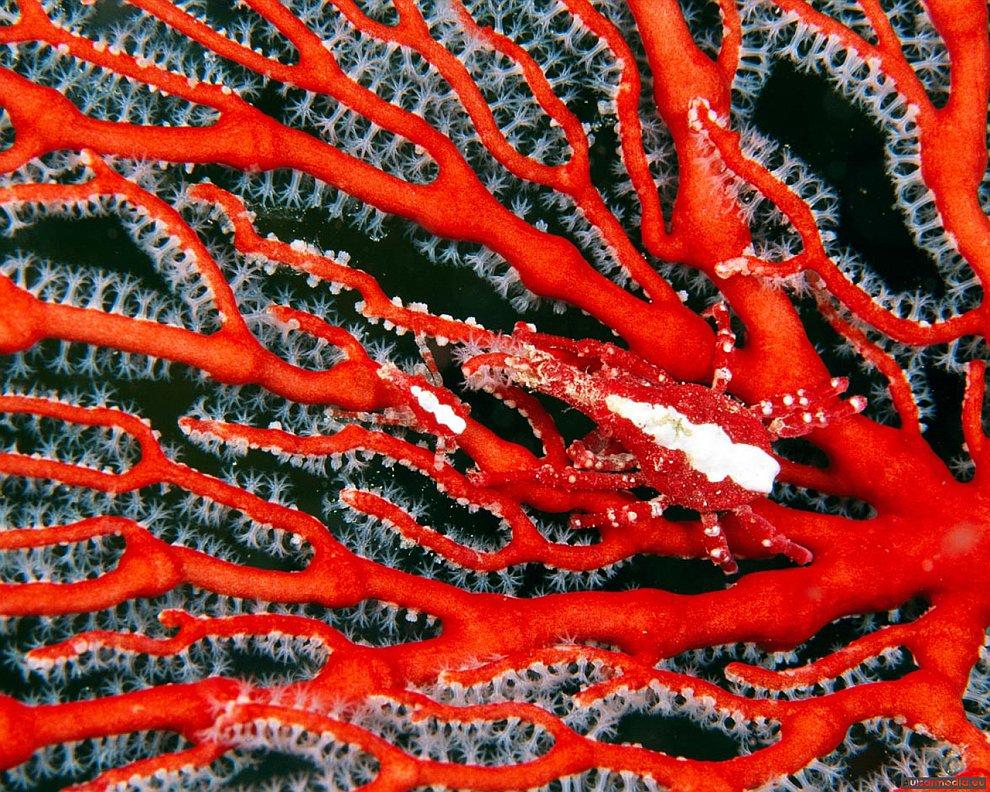 Красные кораллы-Горгонарии
