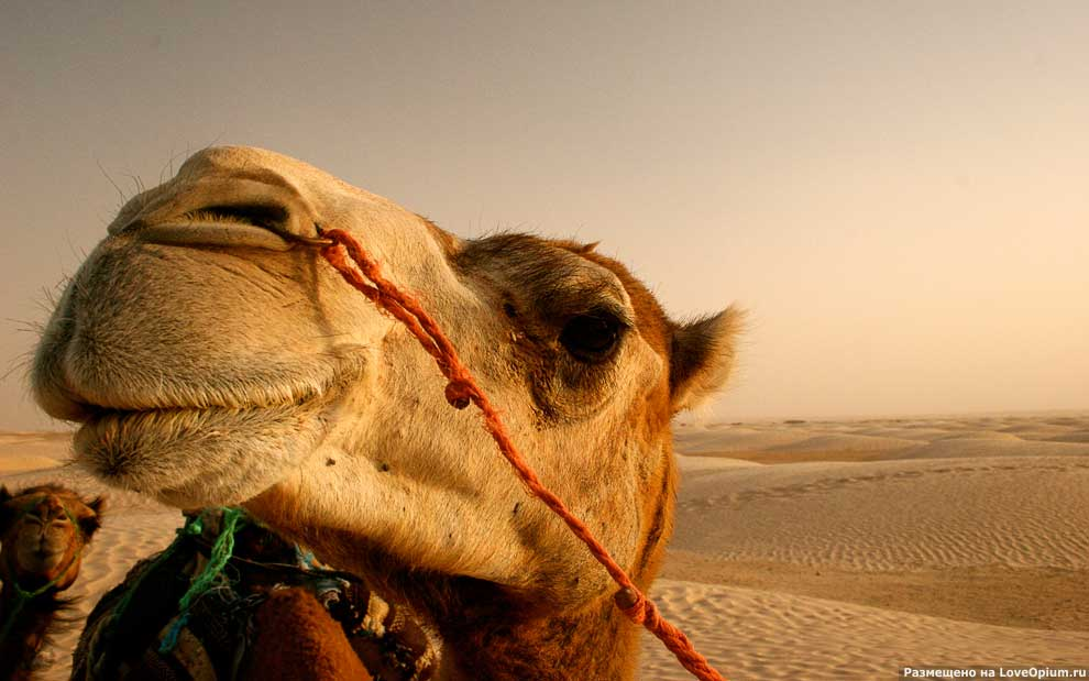 20 интересных фактов о верблюдах