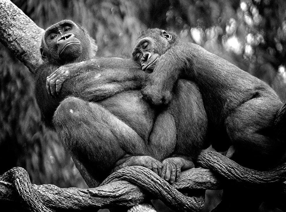 Гориллы в зоопарке Нью-Йорка