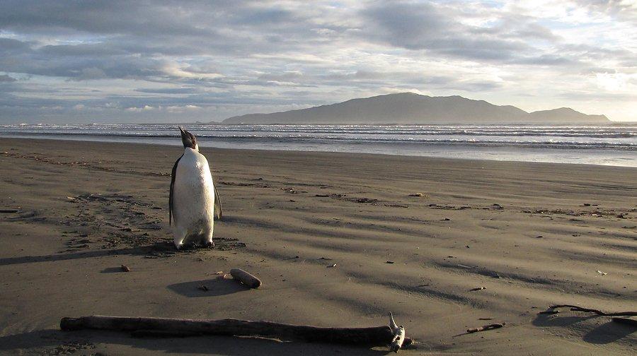 Спасение императорского пингвина-путешественника