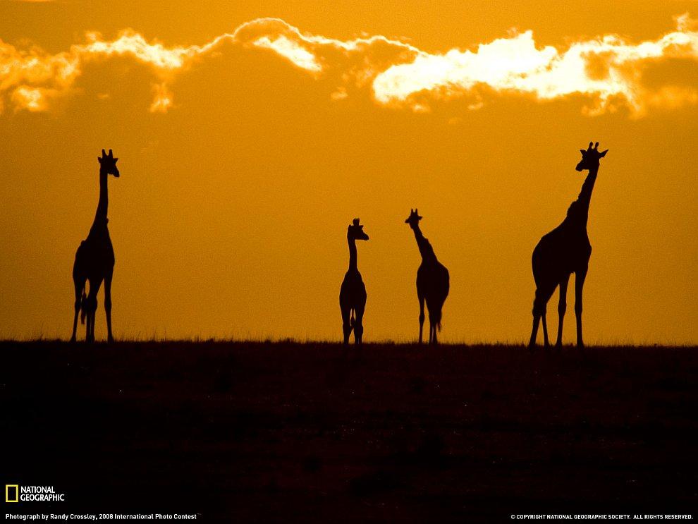 Жирафы на закате в парке Масаи Мара, Кения