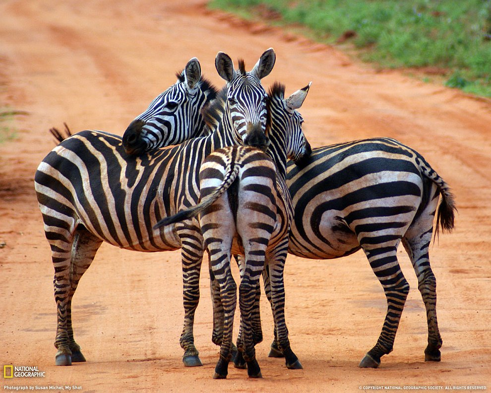 Зебры, Кения