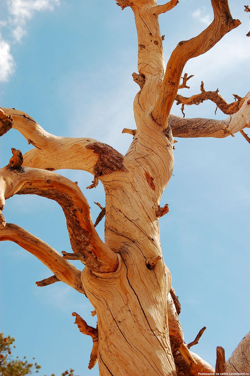 Дерево Джошуа