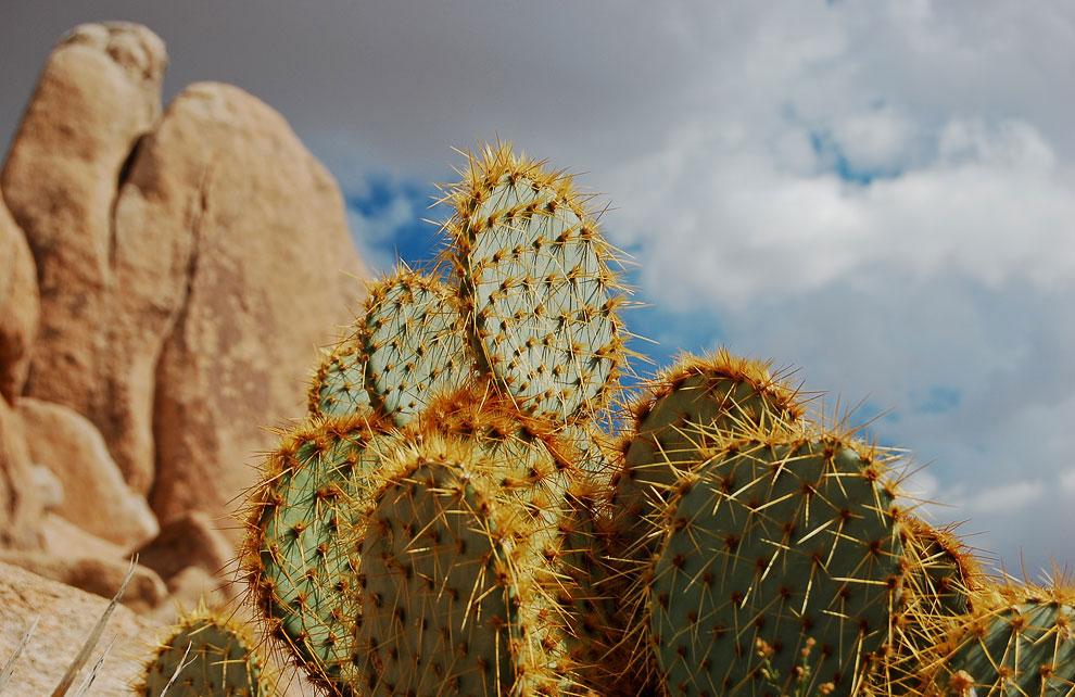 Колючий грушевый кактус