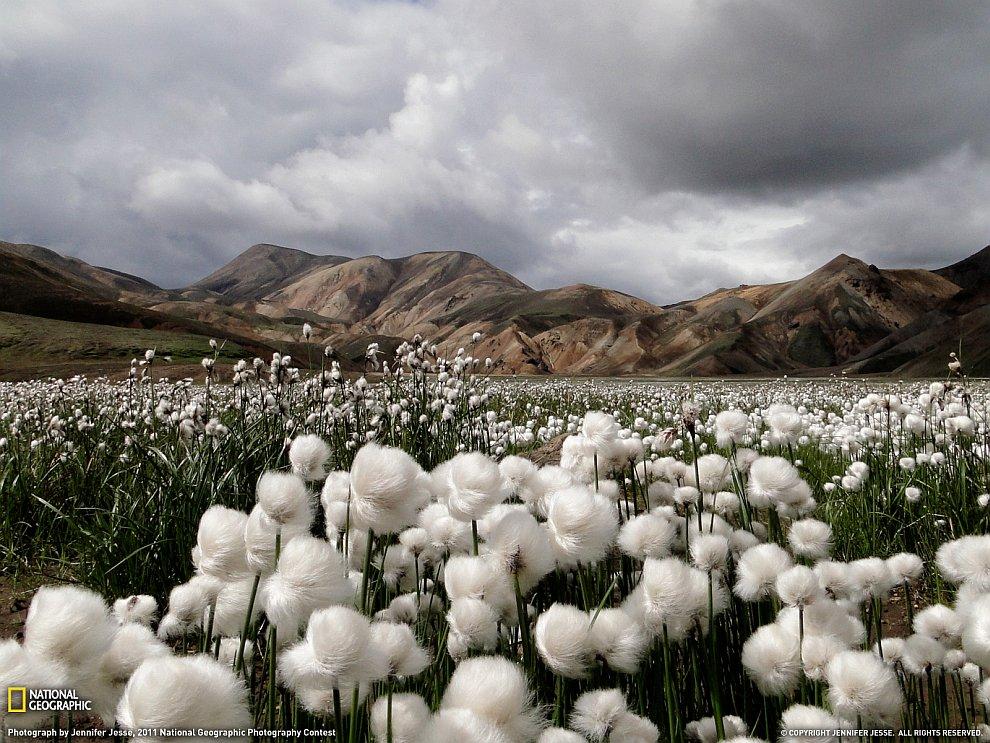 Хлопковое поле, Исландия