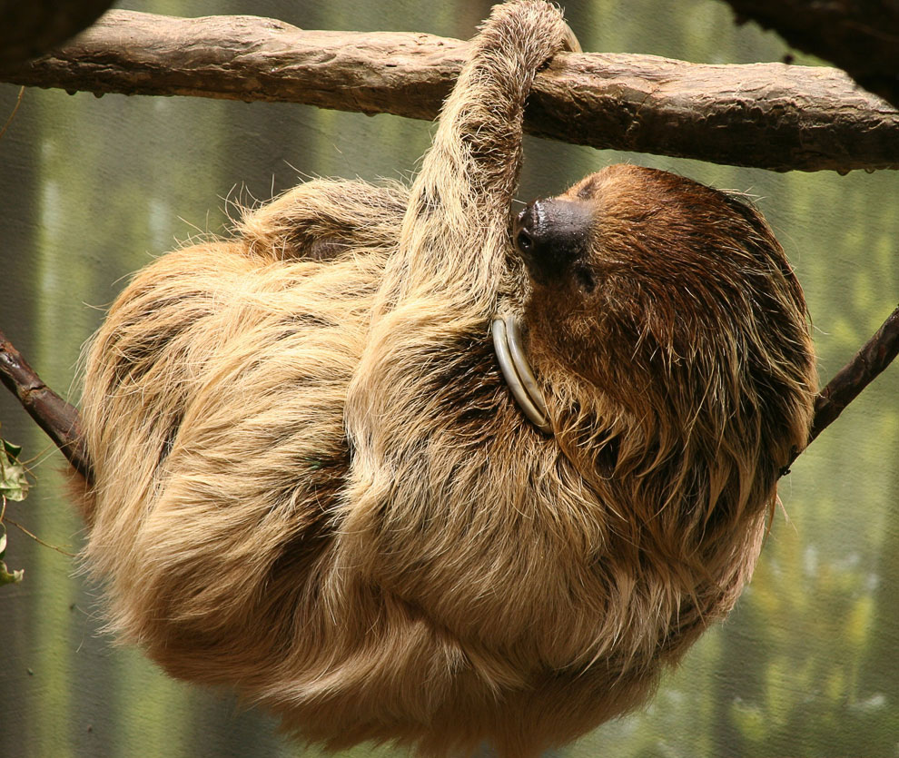 Знакомьтесь, ленивцы