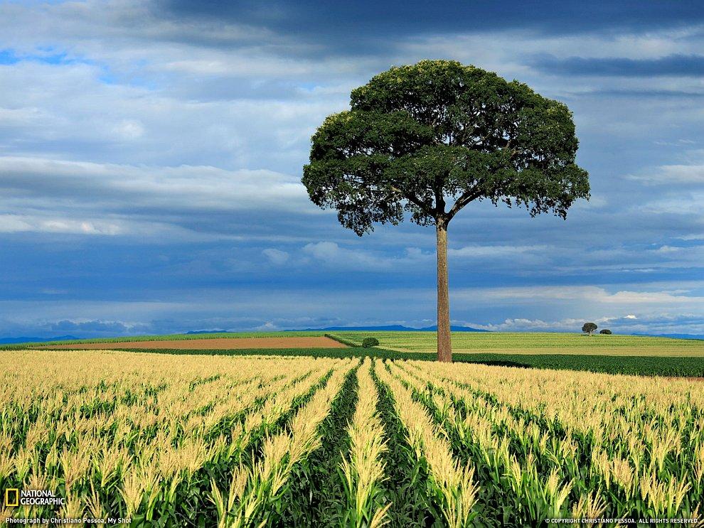 Кукурузные поля в Бразилии