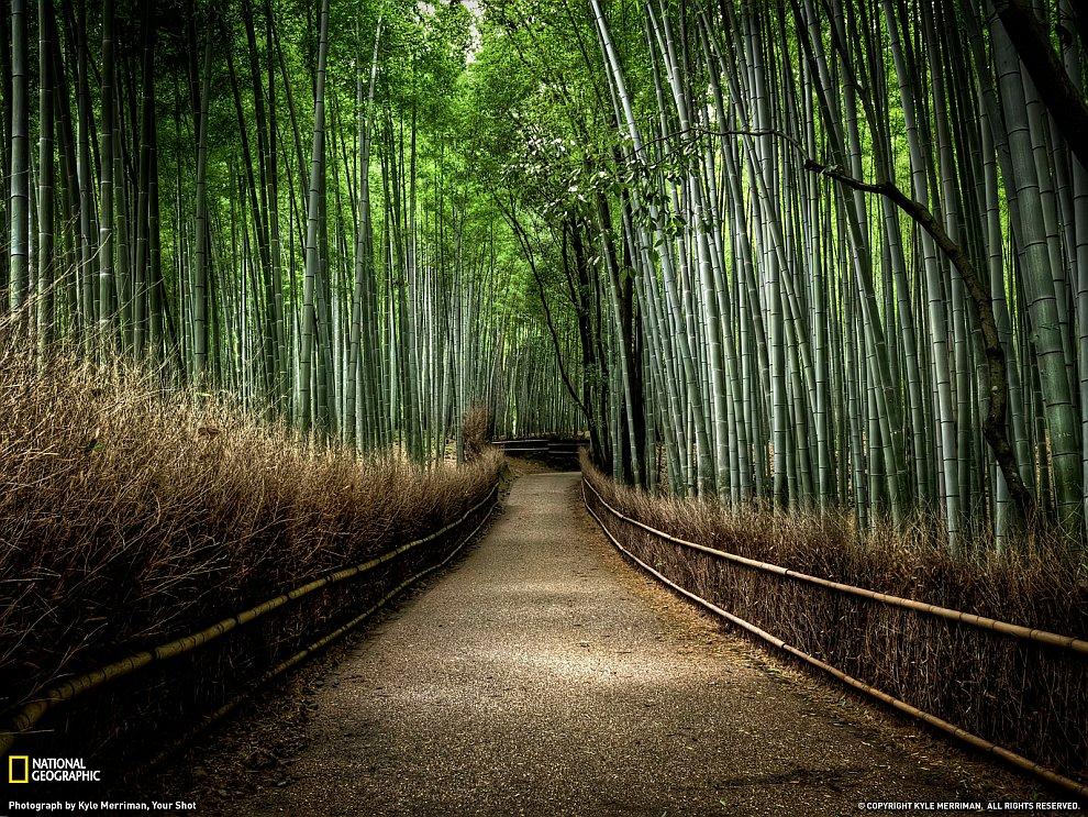 Бамбуковая роща, Киото, Япония
