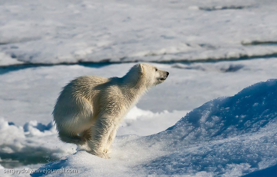 Белые медведи на Северном полюсе