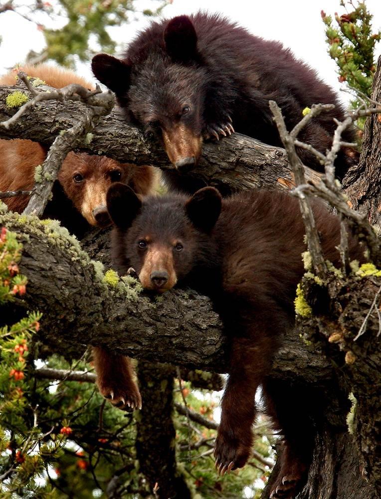 5 бурых медведей