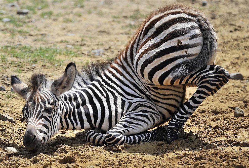 Жеребенок зебры