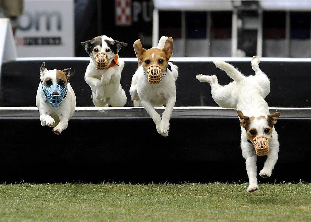 В Калифорнии прошли бега собак с препятствиями
