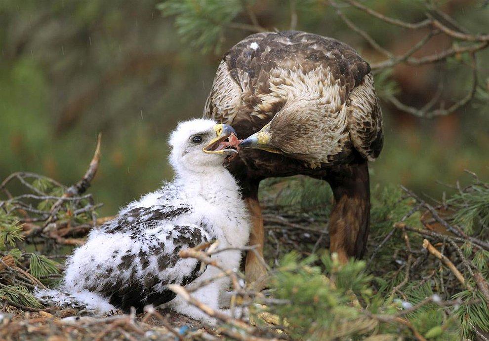 Беркут кормит птенца в гнезде на болоте возле деревни в Беларуси