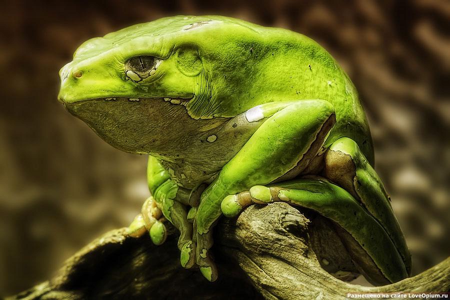 Обезьянья лягушка