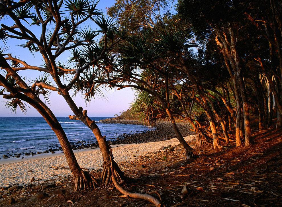 Чайные деревья, Квинсленд