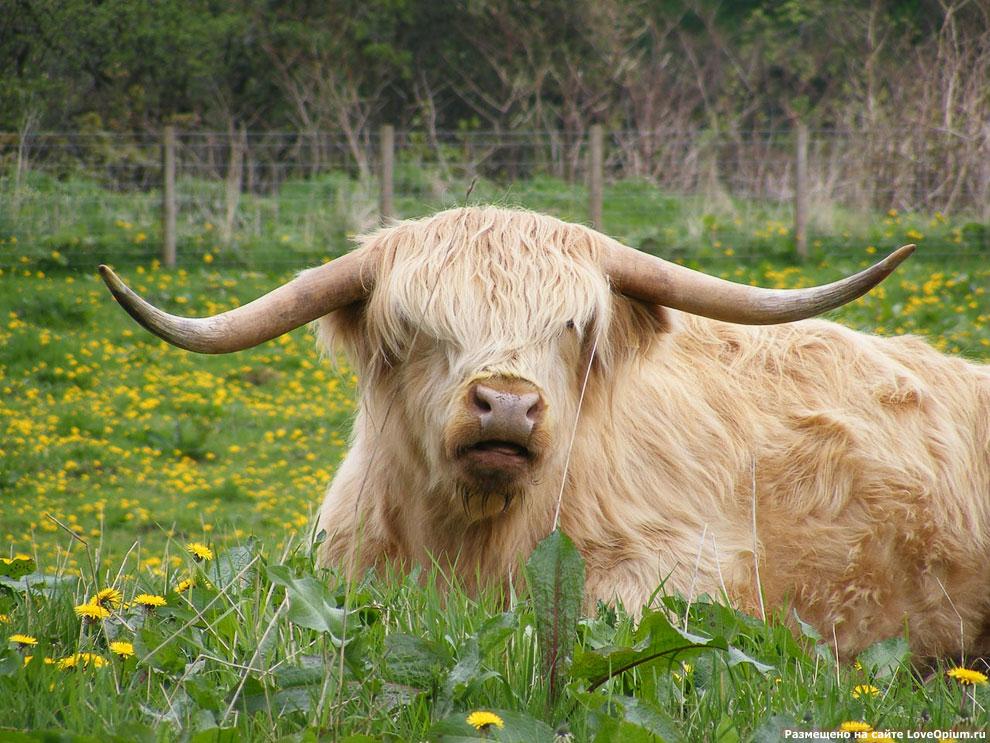 Знакомьтесь: шотландские высокогорные коровы