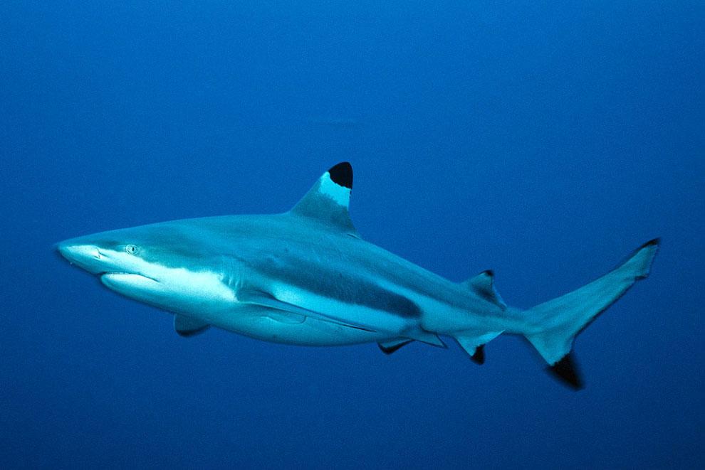 Акула черноперая рифовая