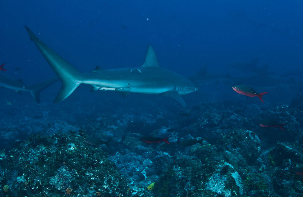 Галапагосская серая рифовая акула