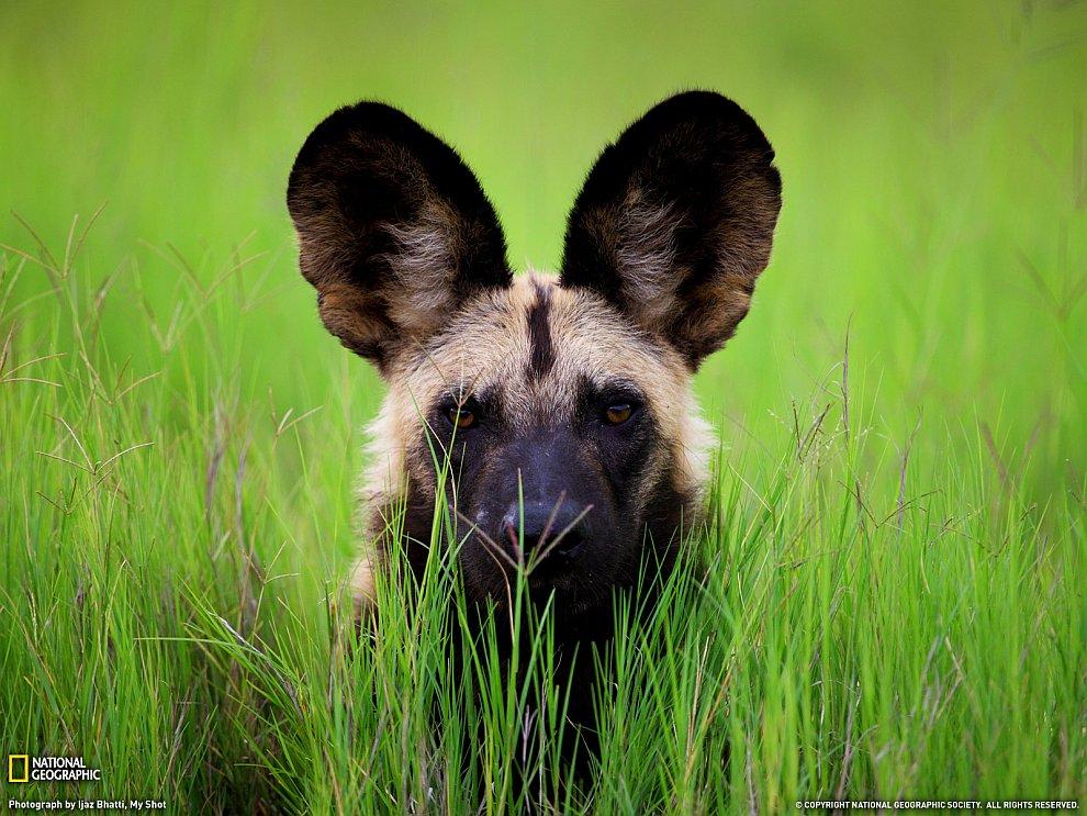 Африканская дикая собака, Ботсвана