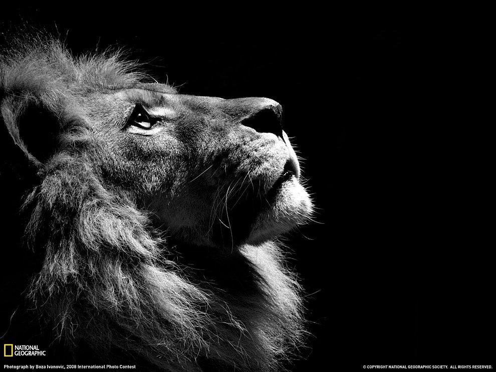 «Царь зверей» в профиль