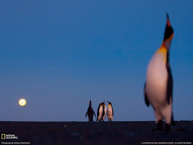 Королевские пингвины и луна