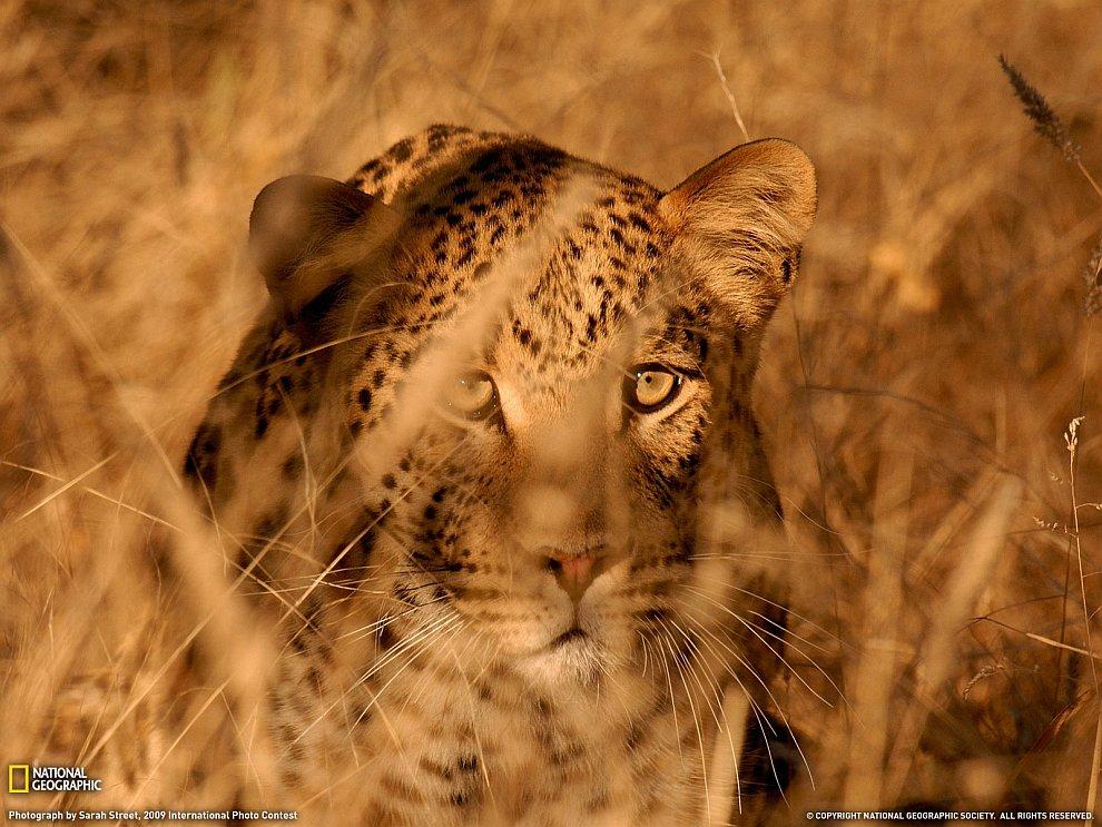 Леопард в высокой траве, Намибия