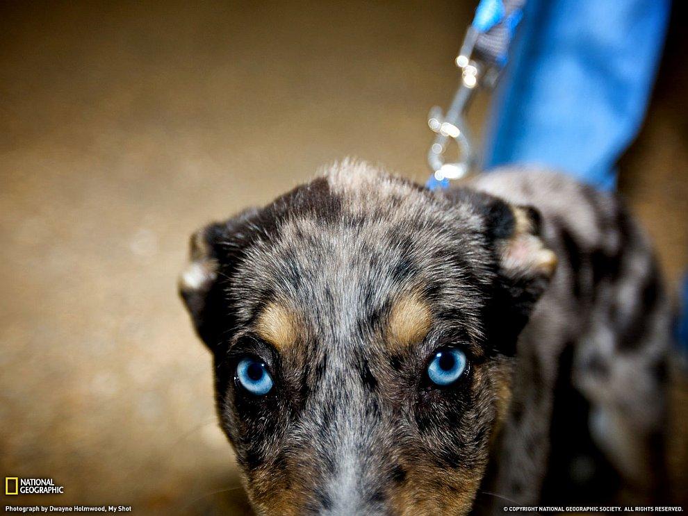 Голубоглазый пес