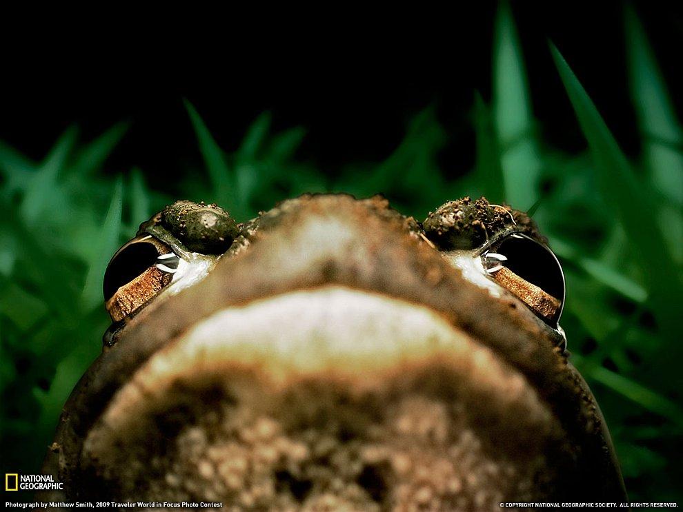 Маленький, но гордый: лягушка-бык из дельты Миссисипи