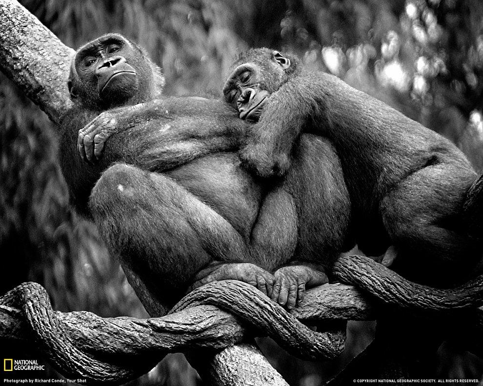 Гориллы в зоопарке Бронкса, Нью-Йорк