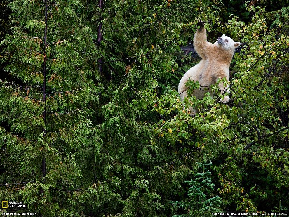 Белый барибал на дереве