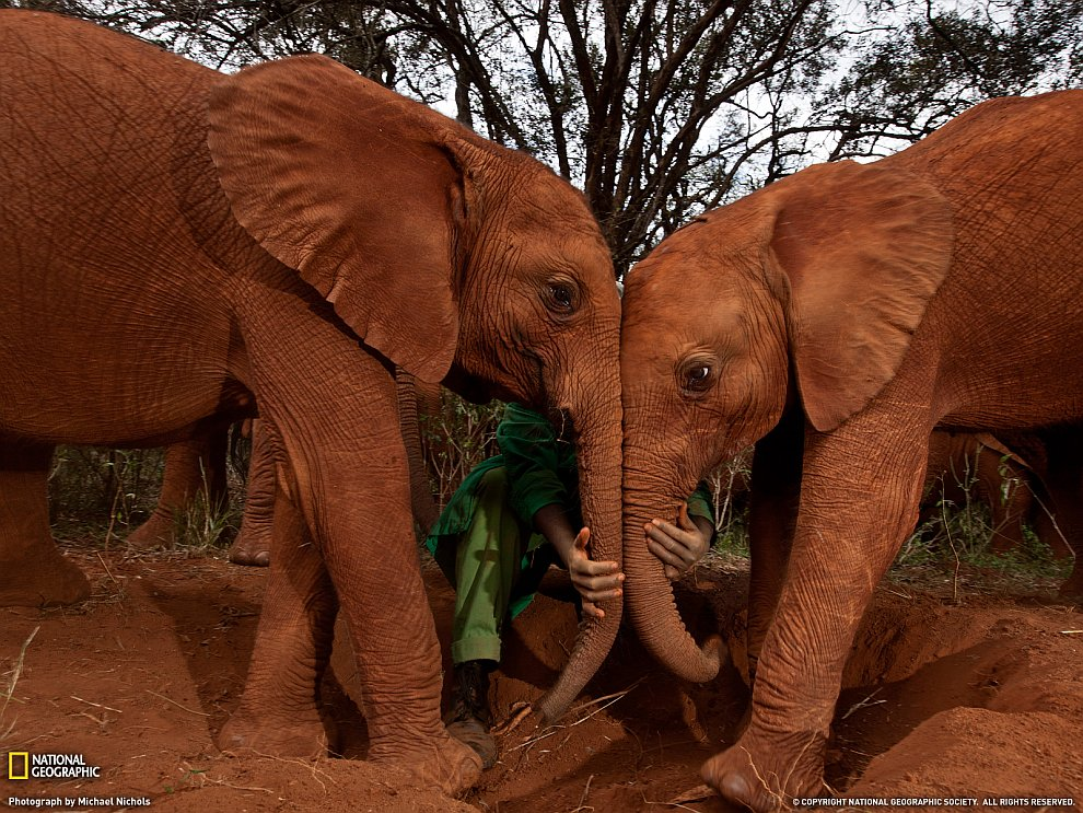 Слоны, Кения