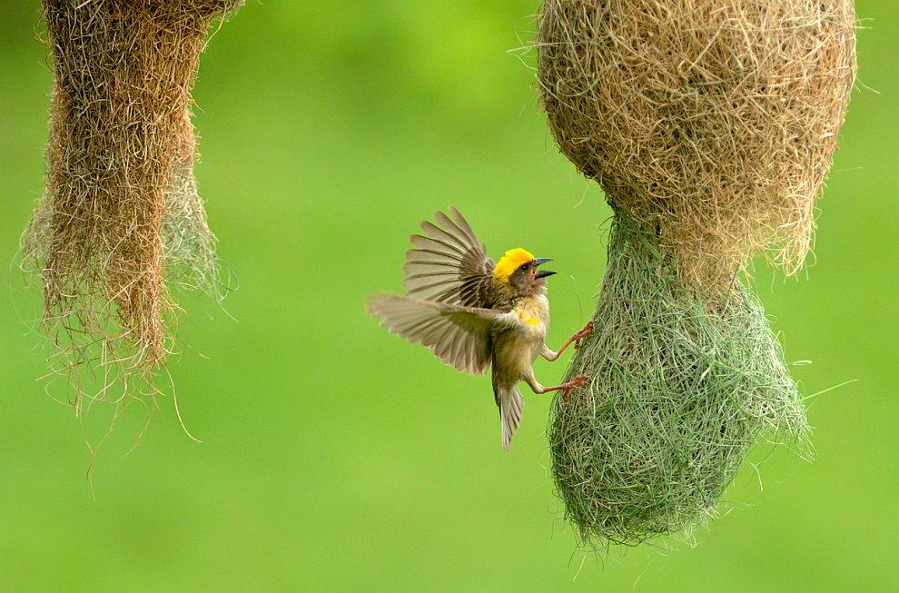 Птица-ткач