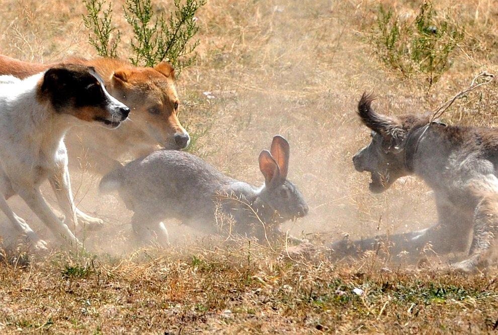 Охотничьи собаки ловят зайца