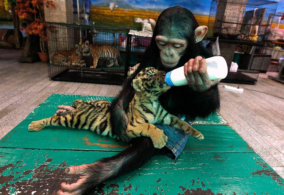 Шимпанзе и тигренок