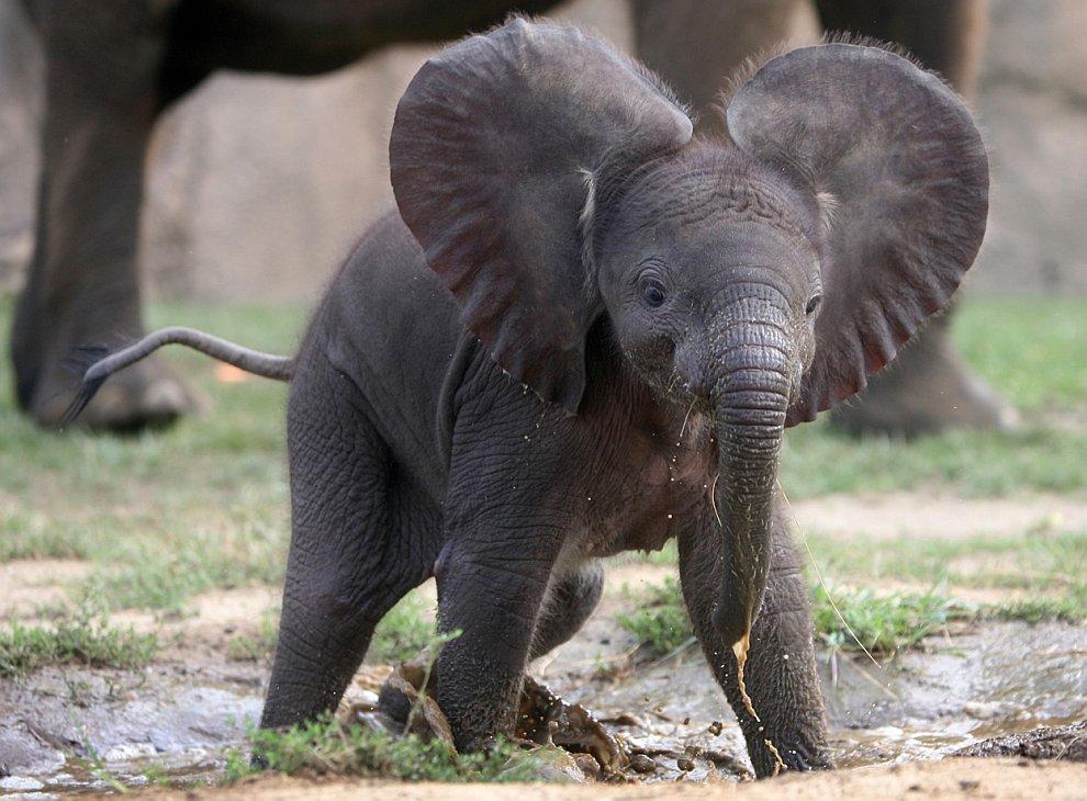 Африканский слоненок
