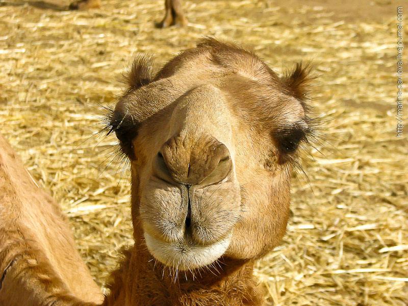 Как продают верблюдов в Северной Африке