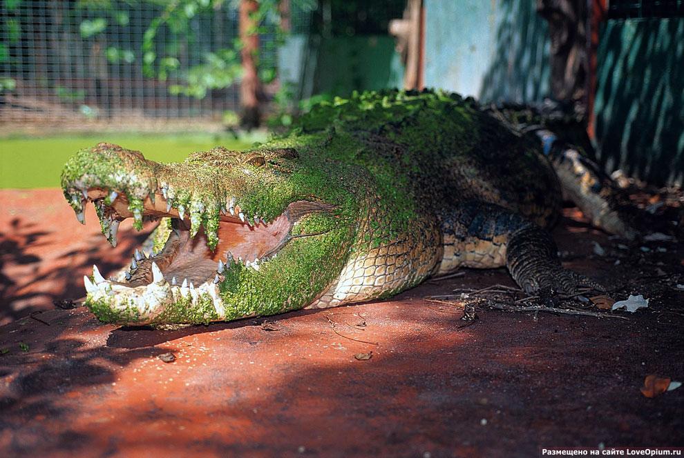 Самый большой крокодил в неволе