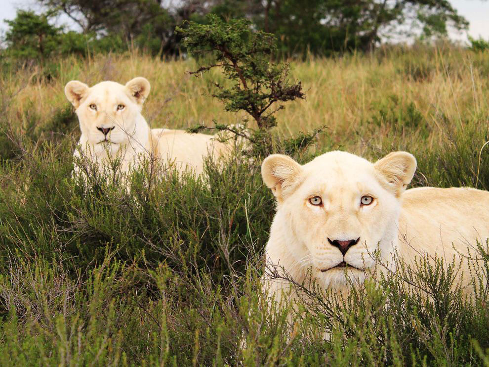 Белые львы, Южная Африка