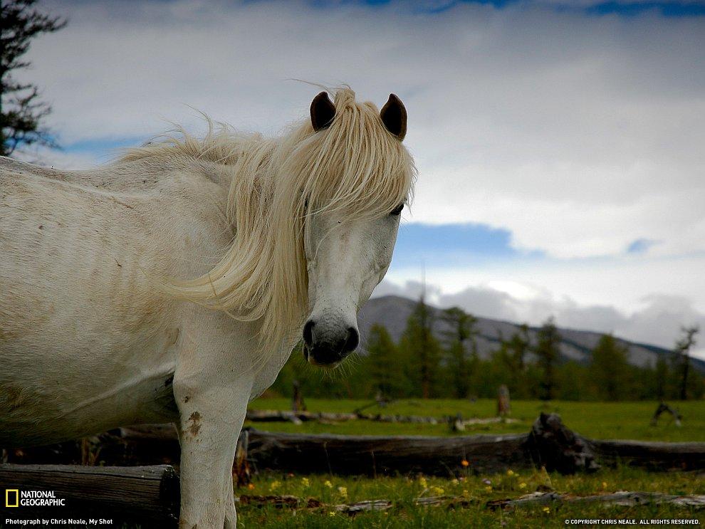 Дикая лошадь, Монголия