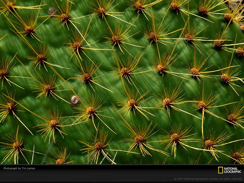 Шипы кактуса