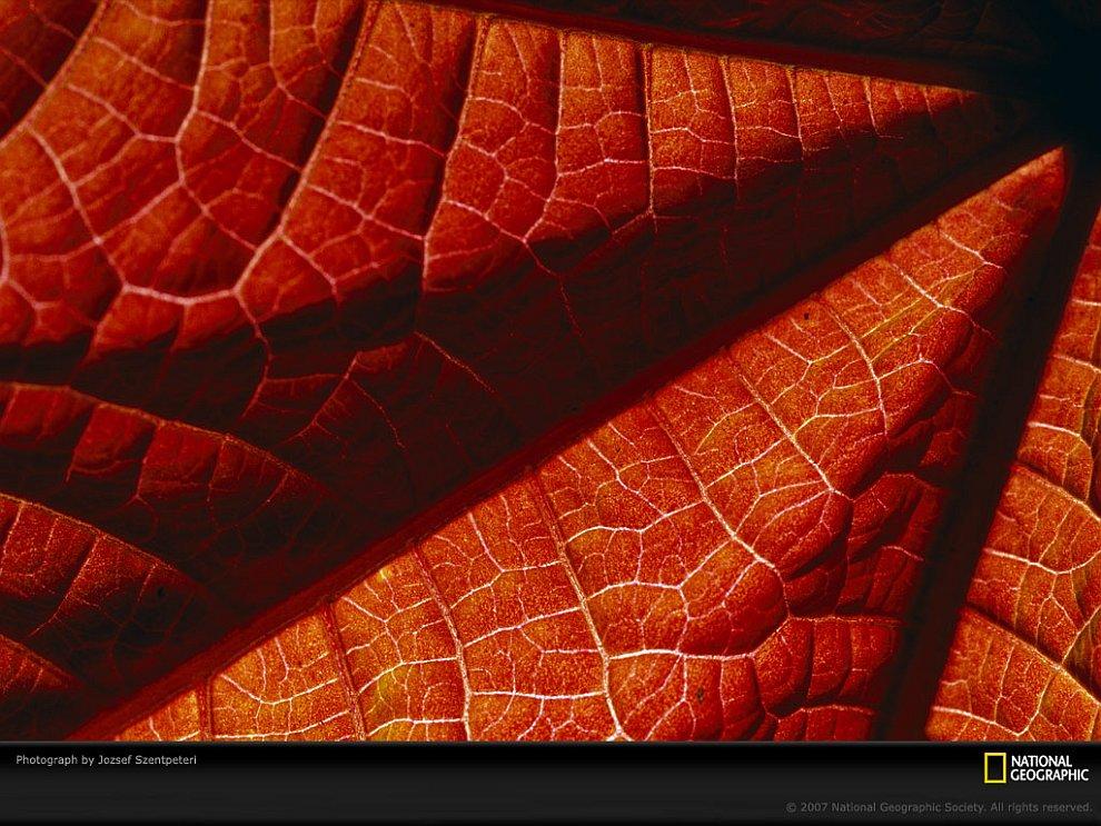 Лист клещевины
