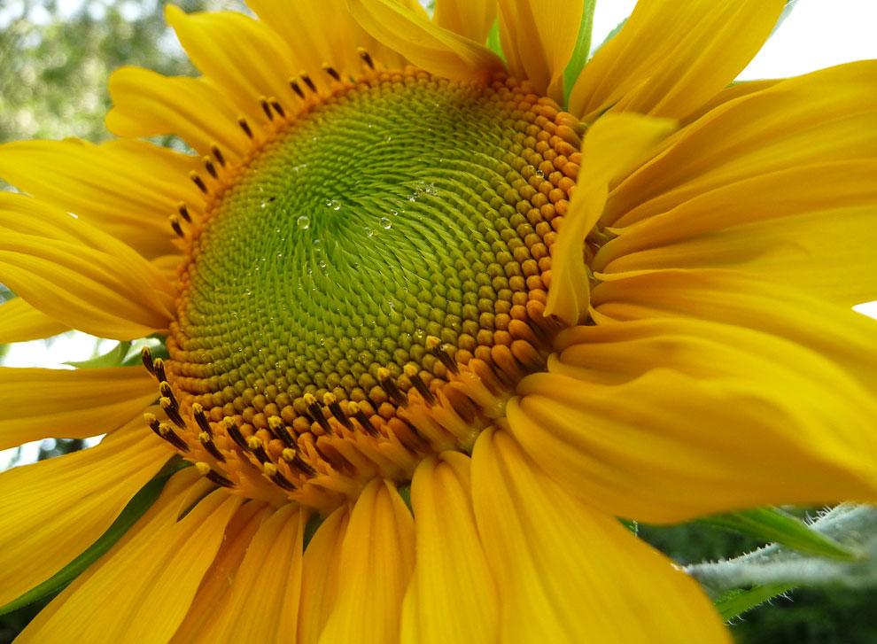 История подсолнечника — «цветка солнца»